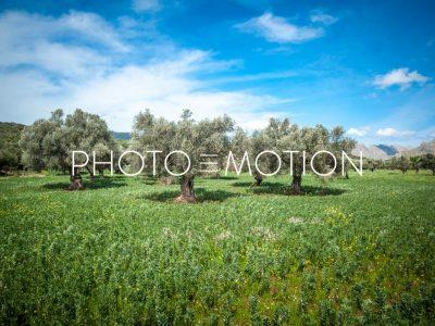 Olive Trees – Pollenca – Majorca - PHOTO-E-MOTION
