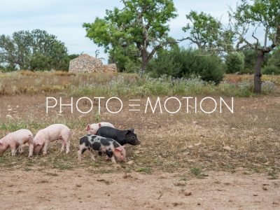 Cow or Pig? - PHOTO-E-MOTION