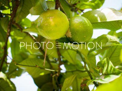 Lime Tree – Majorca - PHOTO-E-MOTION